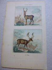 Gravure couleur 19°:Mammifères:Le cerf commun...le daim