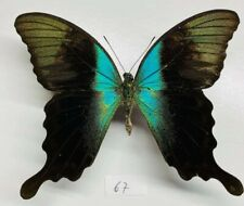Papilionidae Papilio peranthus adanantius mâle a1 mounted Sulawesi