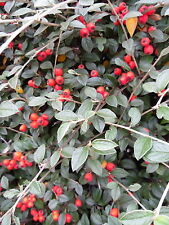 12 x Cotoneaster franchetti – Ornamental Evergreen Hedging Plants in 9cm Pots