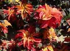 50+ Carnival Amaranthus Flower Seeds / Annual