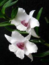 Orchid Dendrobium parthenium Species