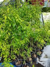 Surh Anor Pomegranate 3 To 4 Feet Tall Live Plant Fruit