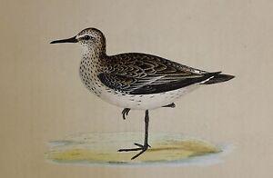 c1875 ANTIQUE PRINT ~ SCHINZ'S SANDPIPER HAND COLOURED British Birds Morris