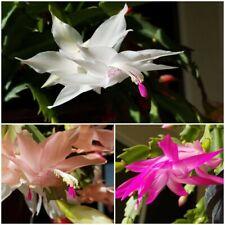 "Semi /""VARIEGATED PLUM CARNIVAL/"" Christmas Cactus Schlumbergera Zygo 3 Cuts 2 Seg"