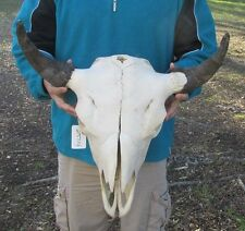 American Bison/Buffalo Skull with a 23 inch wide horn spread # 25114