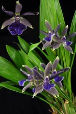 "ZYGOTORIA MIDNIGHT BLUE 'CARDINAL'S ROOST', FRAGRANT, SHIPPED IN 3"" POT"
