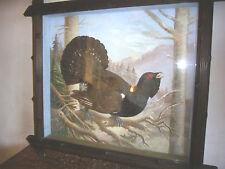 Auerhahn Fasan,Huhn Tier Prätaration Tierprätarat Jagt Schaukasten Wild Vogel