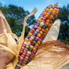 Glass Gem Corn 50+ seeds Grown in CANADA, Fast Delivery.Authentic Carl Barnes