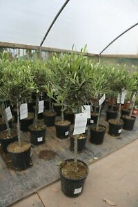 Pair of Olive trees - 1/4 Standard 60-70cm (excl. pot)