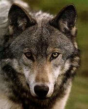 Majestic Wolf Up Close and Personal - 8x10 In. Photo-Art Print
