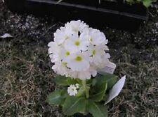 30+ Primula Snowball Flower Seeds / Perennial / Sweet Scent / Shade Perennial