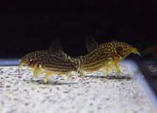 5 BEAUTIFUL CORYDORAS STERBAI CORY CATFISH moss java shrimp guppy