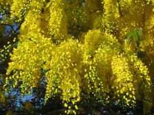 Golden Shower Tree Seed Rare Yellow Flower Cassia Fistula Tropical Tree 30 seeds