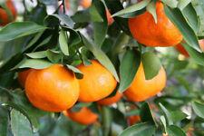 10 DANCY TANGERINE SEEDS - Citrus reticulata 'Dancy'