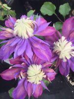 25 Double Blue Purple Clematis Seeds Bloom Climbing Perennial Garden Flower  523
