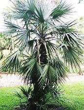 Exotische Bäume für gemäßigtes Klima Nannorrhops