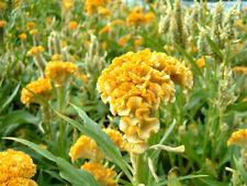 🐓 50 graines de CÉLOSIE ARGENTÉE JAUNE (Celosia argentea var cristata) SEEDS
