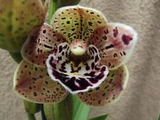 Rare Cymbidium `Kalina` orchid plant FS in bloom