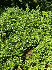 225+ mature well rooted Pachysandra terminalis ground cover plants