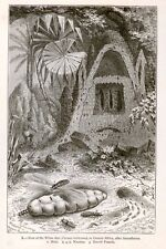 "Louis Figuier's ""The Insect World's"" Lithogrpah -1883- NEST OF THE WHITE ANT"