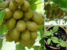 10 ORGANIC KIWI FRUIT Seeds (Actinidia Deliciosa) Bi Sexual. Sweet High Yield