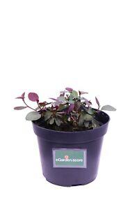Pianta di Cappero Capparis Spinosa pianta aromatica in vaso cappero da mangiare