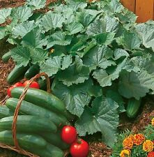 Vegetable - Cucumber - Bush Champion - 35 Seeds - Large