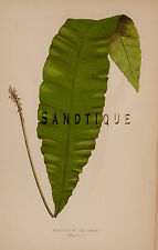 "Lowe's British Ferns - ""NEPHROLEPIS CRASSINERVE"" - Chromo - 1856"