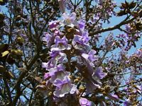 Chinesischer Blauglockenbaum Paulownia tomentosa Kaiserbaum Kiribaum Heilpflanze