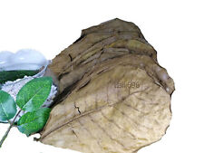 """70 Pieces 9"""" Best Catappa Ketapang Indian Almond Leaves Shrimp Betta Discus"""