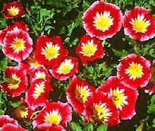 50 Morning Glory Red Ensign Dwarf Morning Glory Garden Starts Nursery