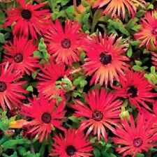 500 Seeds Ice Plant Red Livingstone Daisy Seeds Iceplant