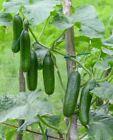 Cucumber, MUNCHER, 20 Vegetable Seed, Heirloom Organic NON-GMO, USA SELLER