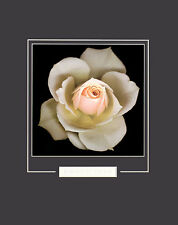 Harold Feinstein Peach Rose poster stampa d'arte immagine 50x40cm