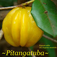 ~PITANGATUBA~ FRUIT TREE Eugenia selloi neonita STAR CHERRY Live Sml Pot'd Plant