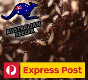AUSTRALIAN SPRINGTAILS ADULT STARTER COLONY +100