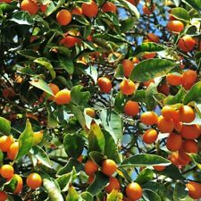 5x Calamondin/Calamansi/Kala mansi Organic Orange Citrus Seeds easy germination