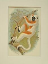 Sifaka - Mounted Antique Animal Monkey Primate Print Victorian Lithograph