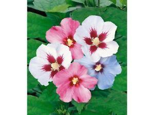 Hibiscus Samen Roseneibisch winterhart Verschiedene farbe (20 stück)