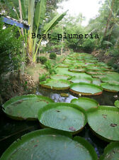 Amazing! Victoria Amazonica/Giant Water Lily/Lotus/ 50 seeds!