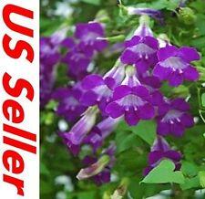 Climbing Snapdragon Seeds G67, 25 SEEDS Asarina Scandens Violet Perennial Vine