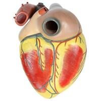 Pro Anatomical Human Life Size Heart Model - Medical Cardiovascular Anato Gift
