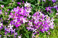 3000 Evening Scented (Night) Stock Matthiola Flower Seeds Bulk, Lilac-Pink Mix