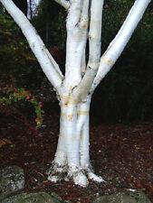Japanese White Birch, Betula platyphylla, very white birch tree, 10 tree seeds.