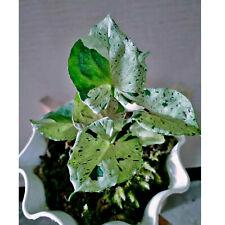 Wholesale 10 Syngonium Green Splash fresh plant free Phytosanitary & DHL Express
