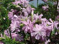 exotisch Saatgut Geschenkidee Samen für dekorative Gartenpflanze SEIFENBLUME