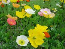 Poppy- Iceland Mix - 500 Seeds