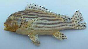 Oriental Sweetlips Plectorhinchus vittatus Fish Taxidermy Oddities Curios