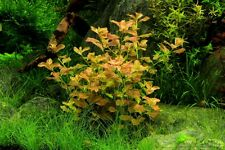 Bunched Ludwigia Ovalis Live Aquarium Plants anacharis java moss moneywort