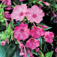 Four O'clock Pink Trumpet, 25+ Seeds Organic, Beautiful Vivid Pink Colored Bloom